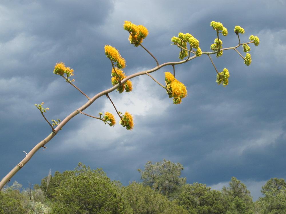Century Plant Spring