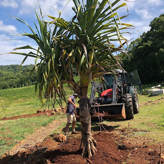 A wise man once said 'with Louis mount climate change we need to be planting pandanus inland.'... So we did. #pandanus #bushfood #securingspecies