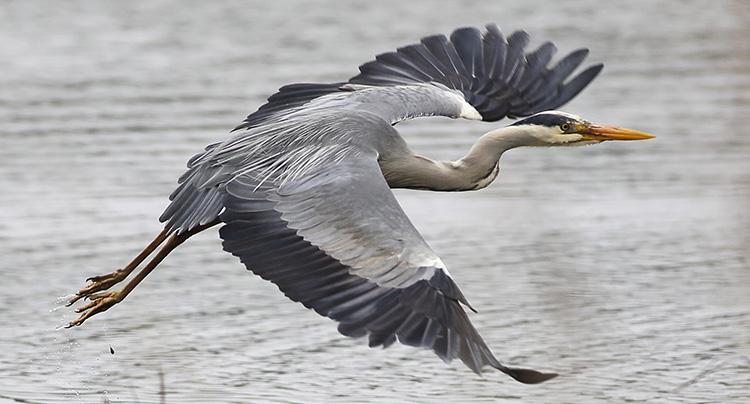 Heron (2)SM.jpg