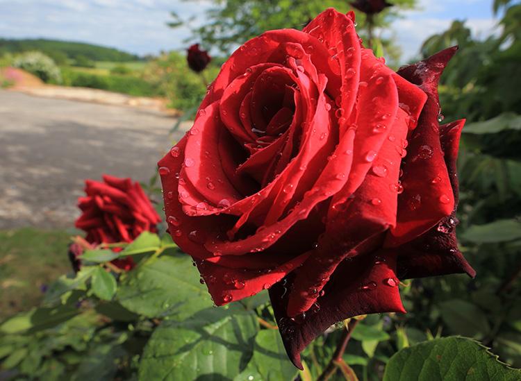Rose161009686-0003SM.jpg