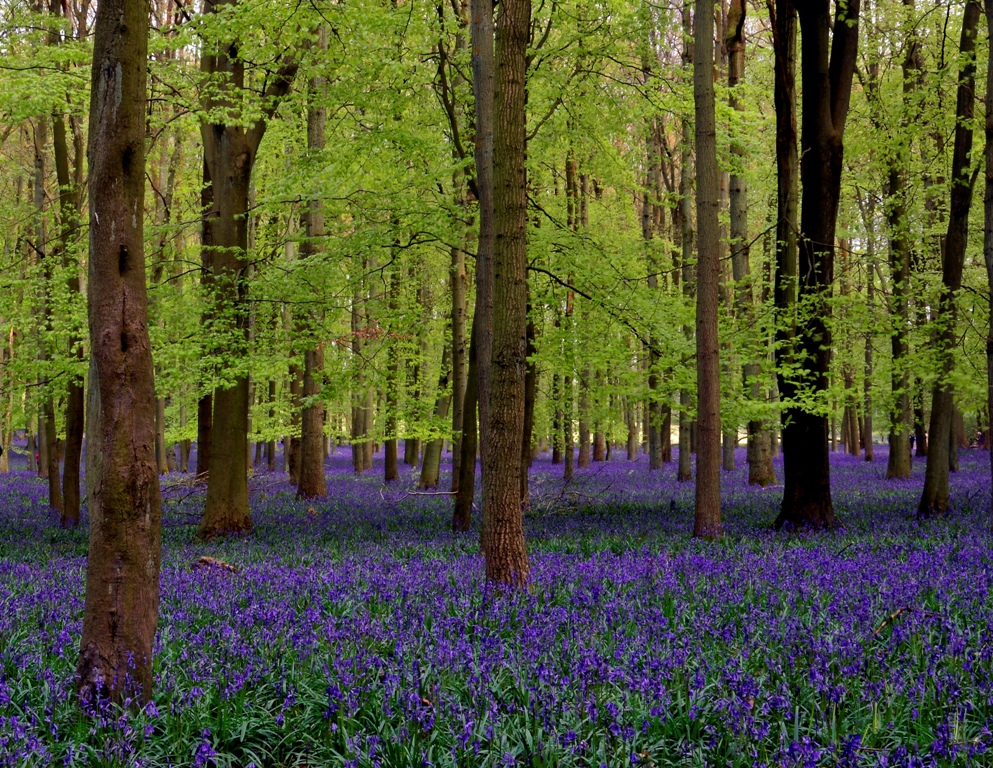 ASHRIDGE BLUEBELLS 089.JPG