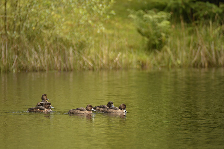 Ducks 2SM.jpg