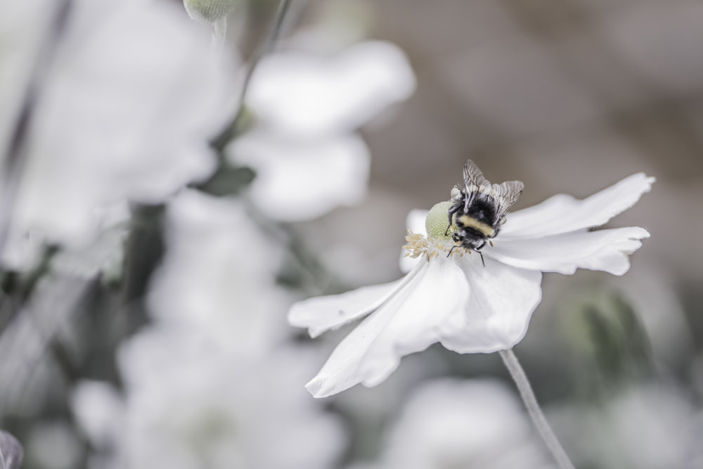 Bee on Japanese windflower.jpg