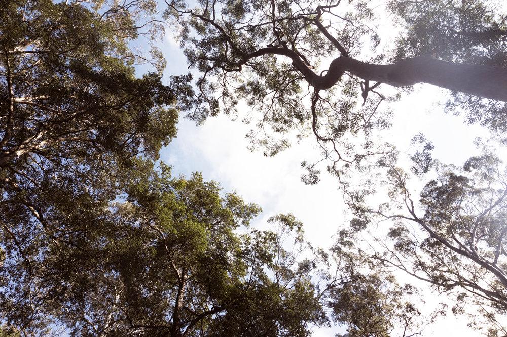 Blue mountains trees