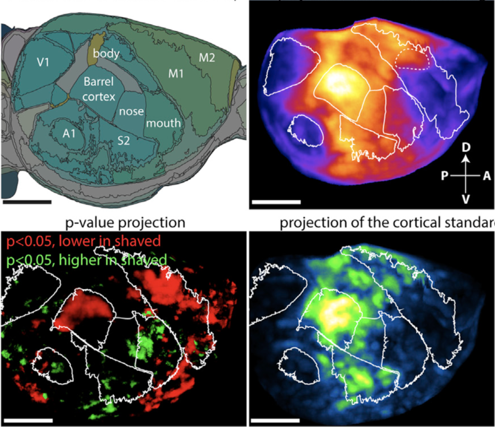 Mapping of cortical Fos expression following an active exploration task with or without whiskers.