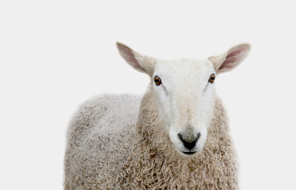 footer-sheep.png
