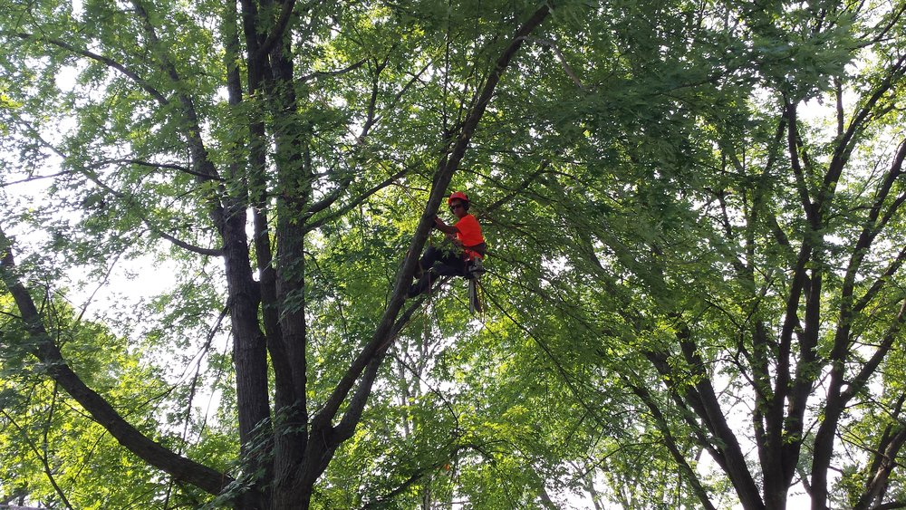 tree trimming - Regular Tree Trimming and Tree Pruning keeps your plants healthy and strong, and keeps your landscape looking fresh and pristine. Click here for more about Tree Trimming.