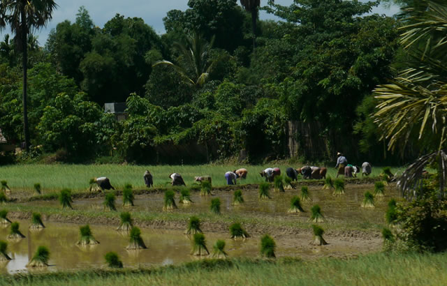 cooperative rice farming creates opportunities for teh poor