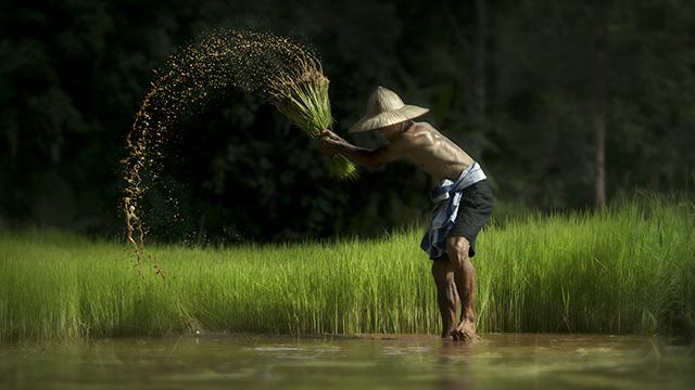 A Farmer harvest rice in Myanmar