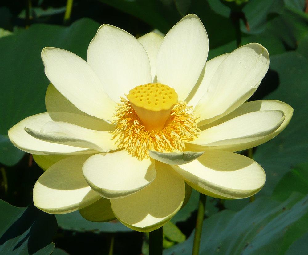 American Lotus - Joanne Cantoni