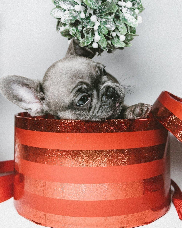 Puppy-Christmas-Box-Andrew-Roby-Eevnts.jpg