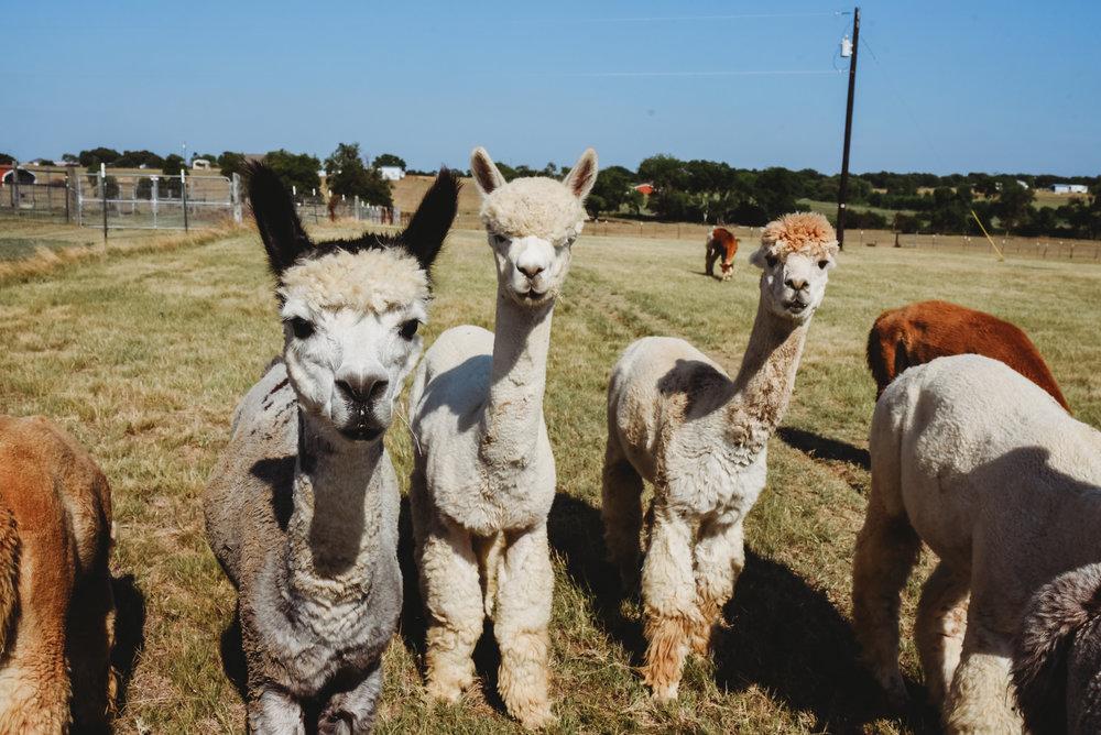 AlpacaWedding2018EditsR1-4.jpg