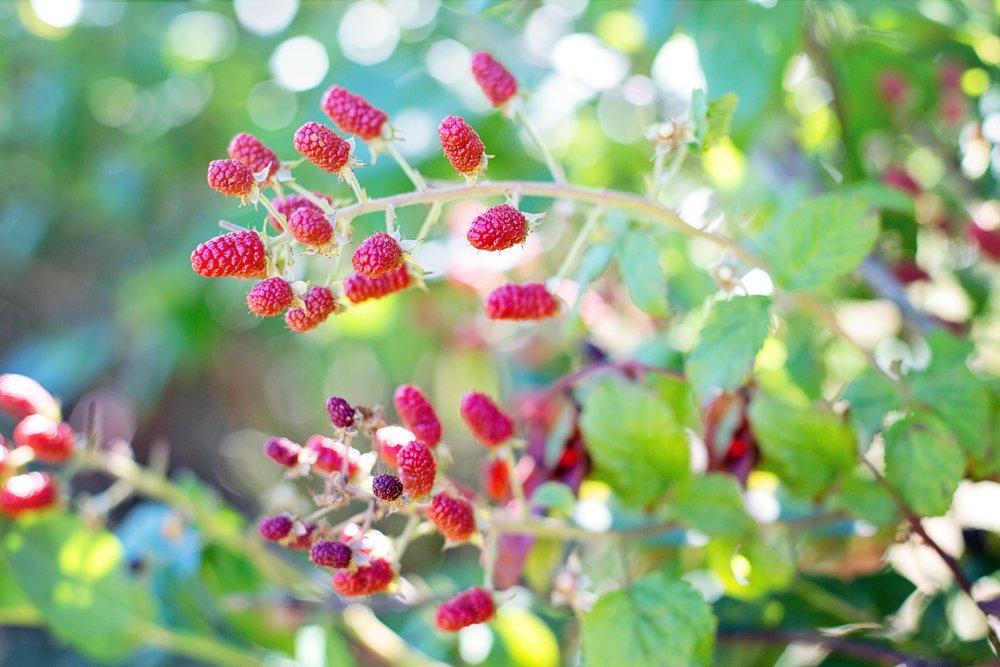 110 raspberries-bush-red-summer-158116.jpeg