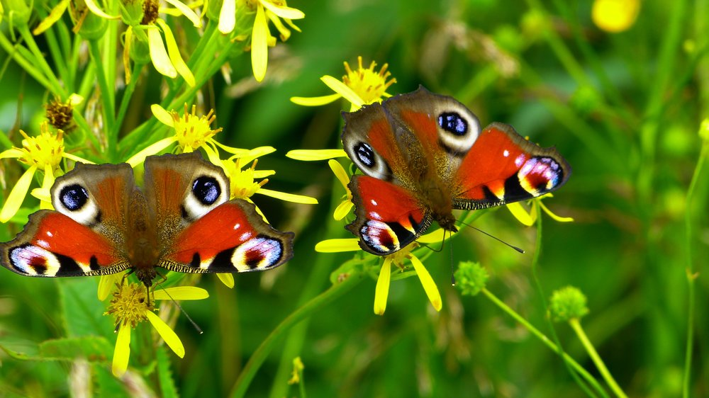 110 inachis-io-butterfly-butterfly-peacock-nature-46498.jpeg