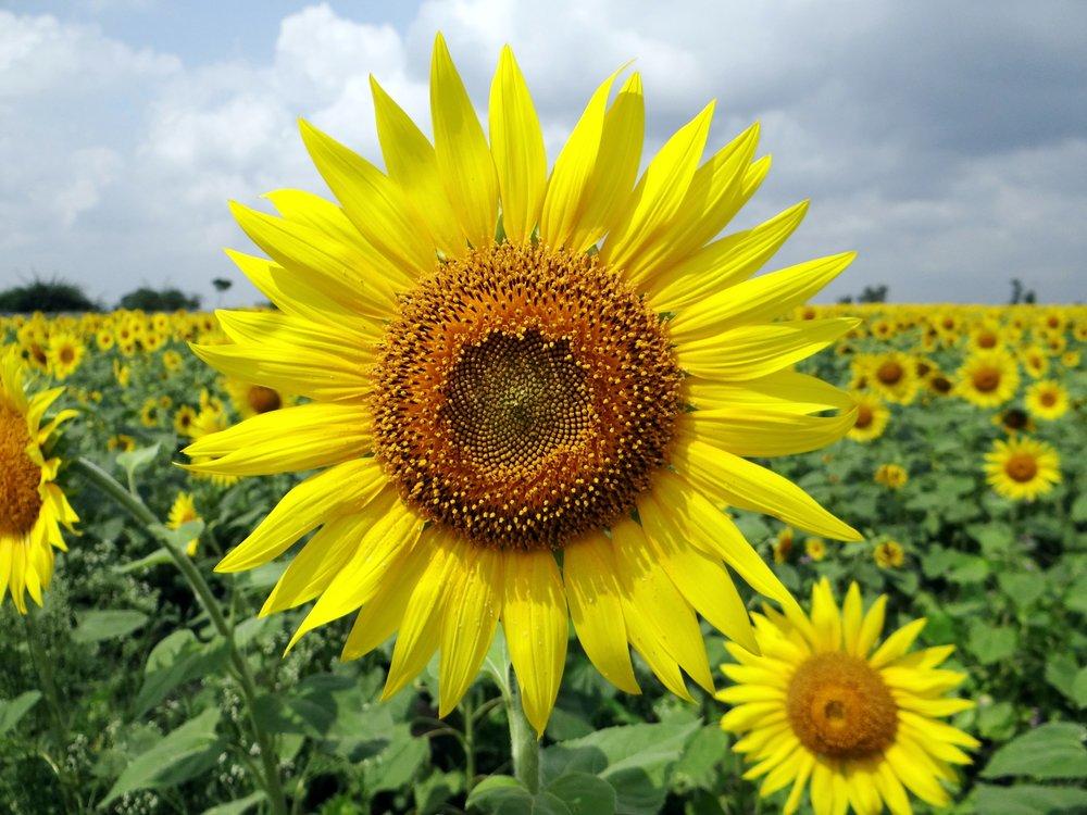 111 flower-sunflower.jpeg
