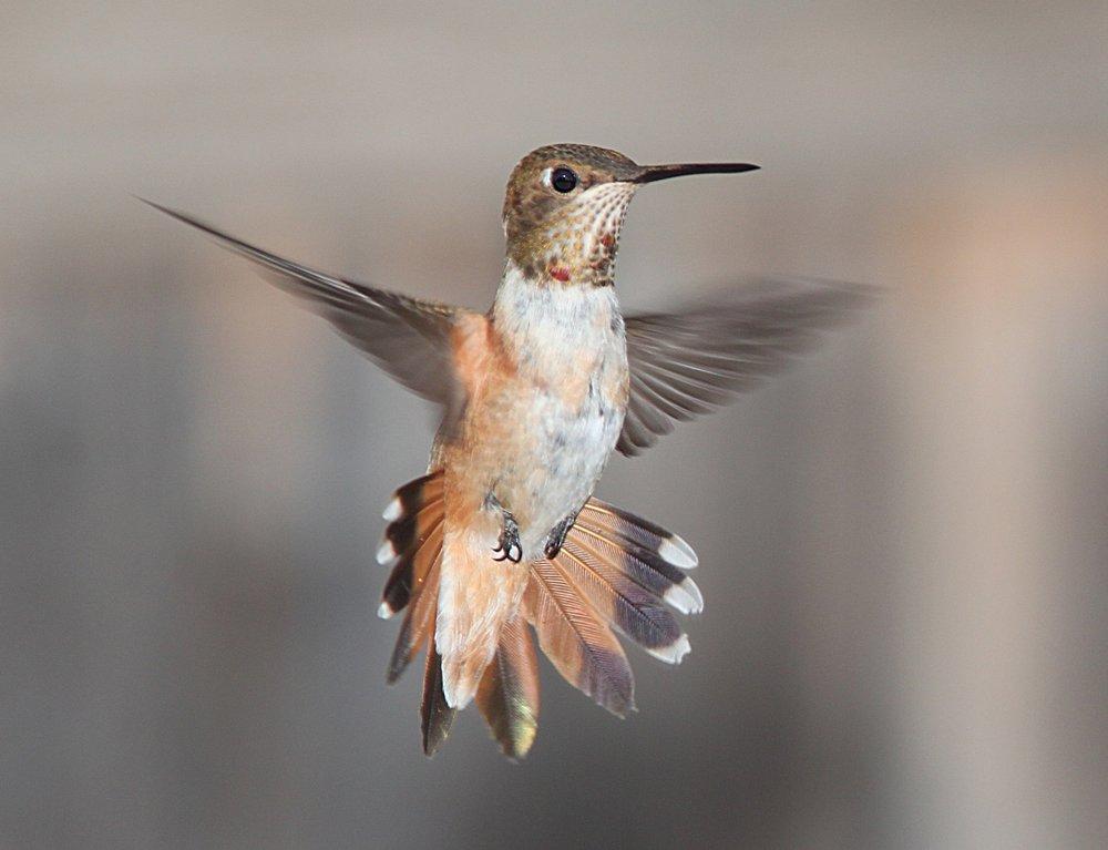110 hummingbird-flying-portrait-wildlife-162223.jpeg