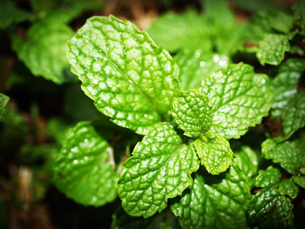 Copy of Mint Leaf Stock Photo