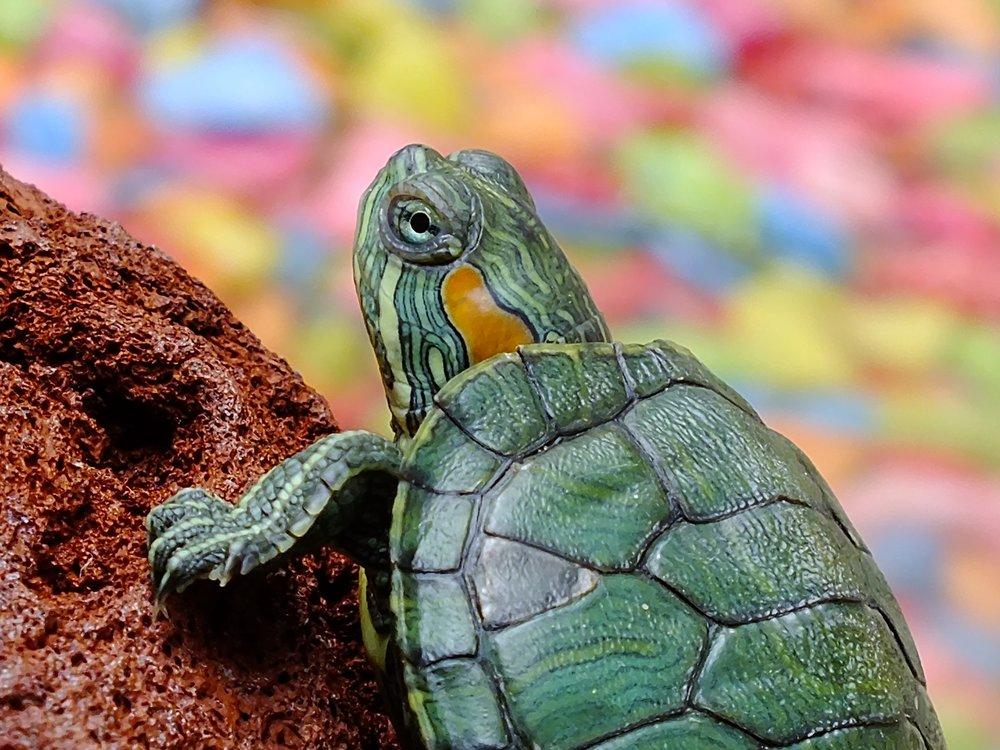 109 turtle-animals-water-creature-loggerhead-sea-turtle-65885.jpeg
