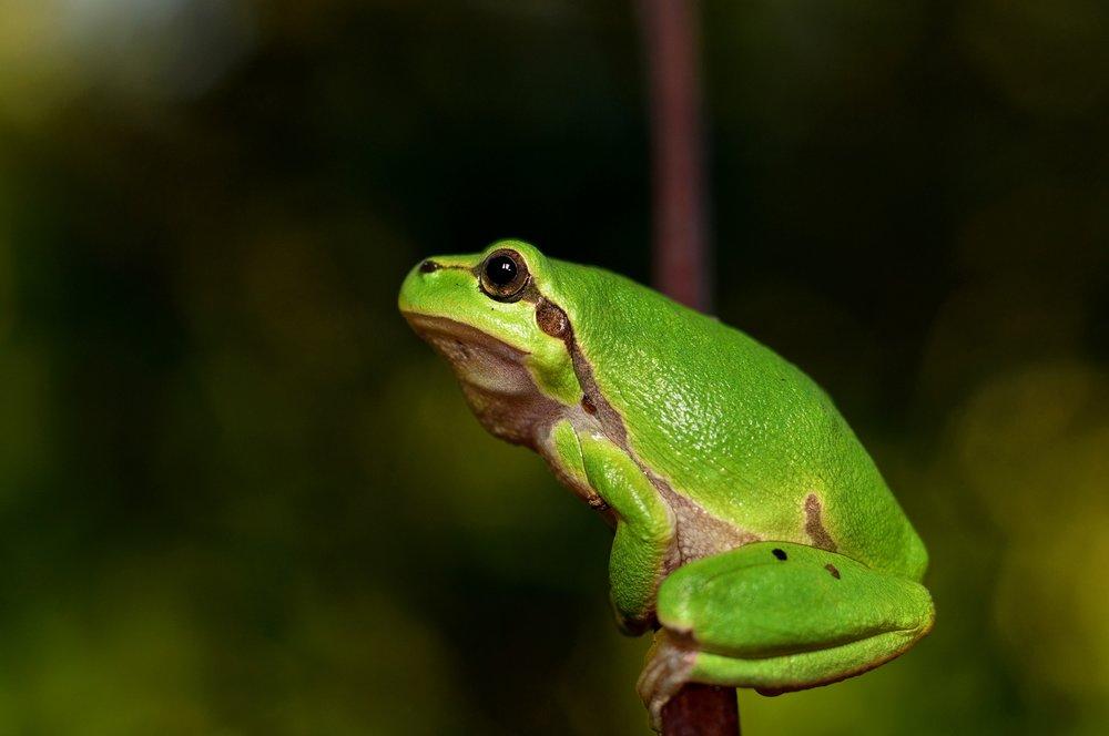 109 hyla-meridionalis-the-frog-amphibians.jpg