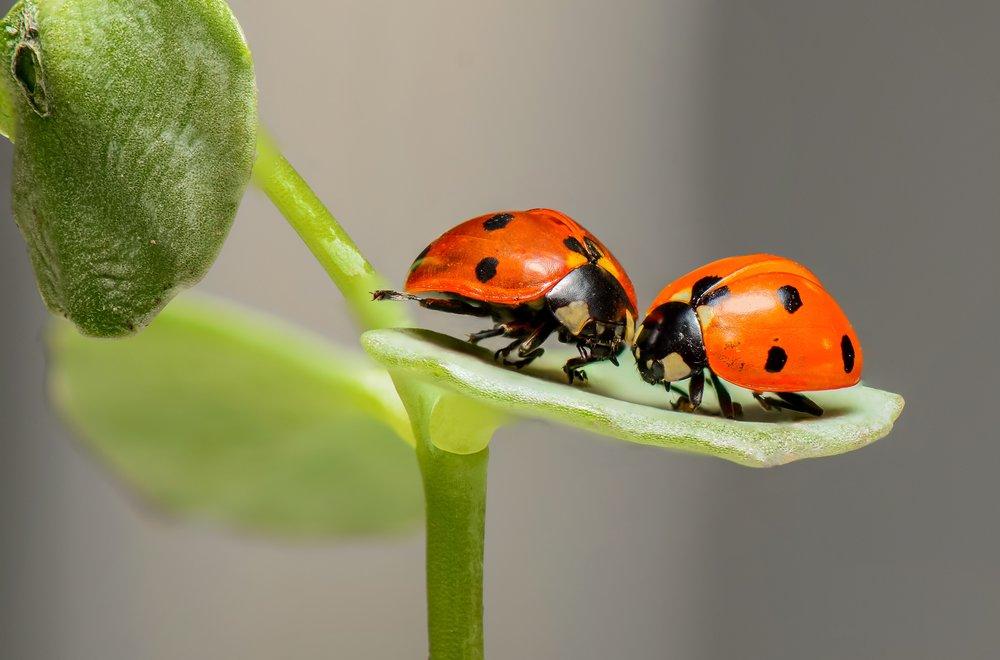 109 ladybugs-ladybirds-bugs-insects-144243.jpeg