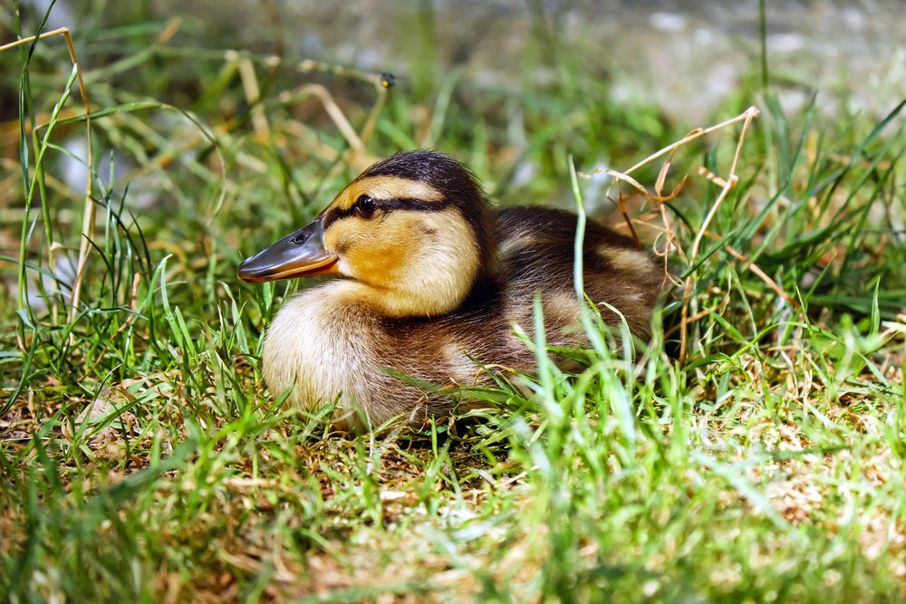 109 duck-chicks-animal-young-animal-158205.jpeg