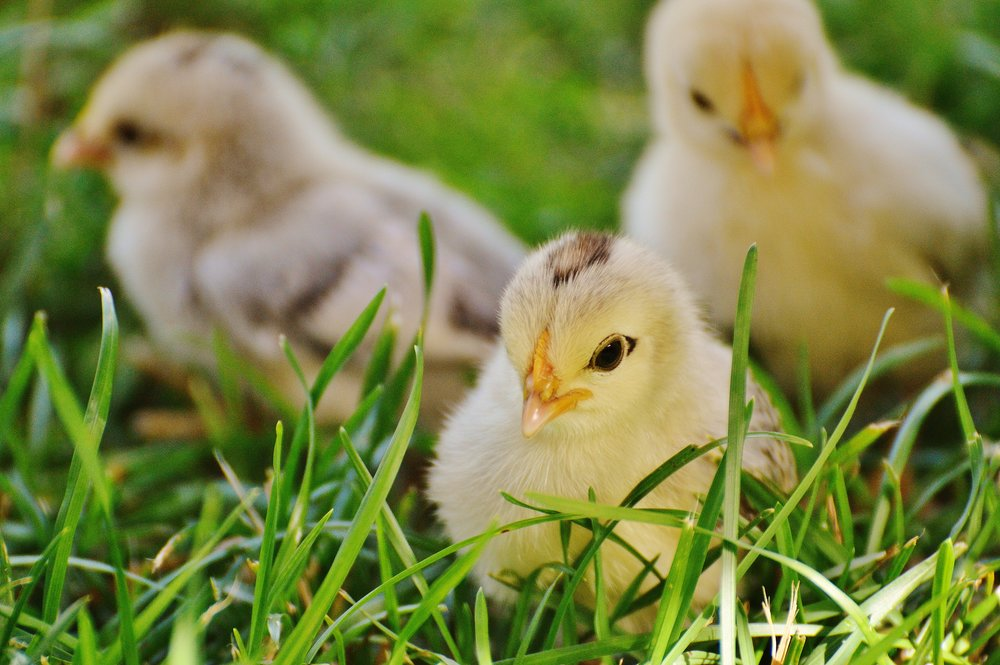 109 chicks-chicken-small-poultry-162164.jpeg