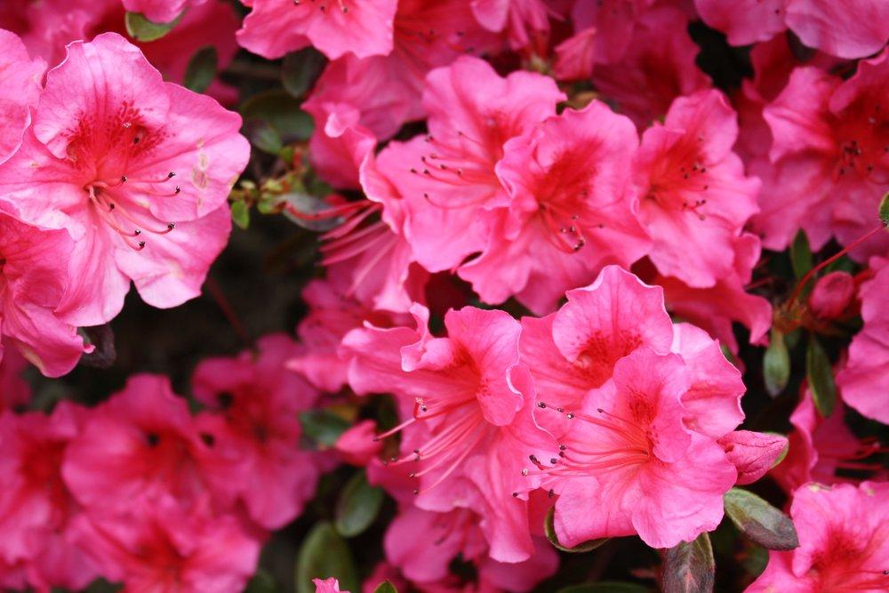 rhododenron.jpeg