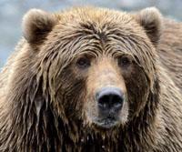 103 Kodiak Brown Bear.JPG