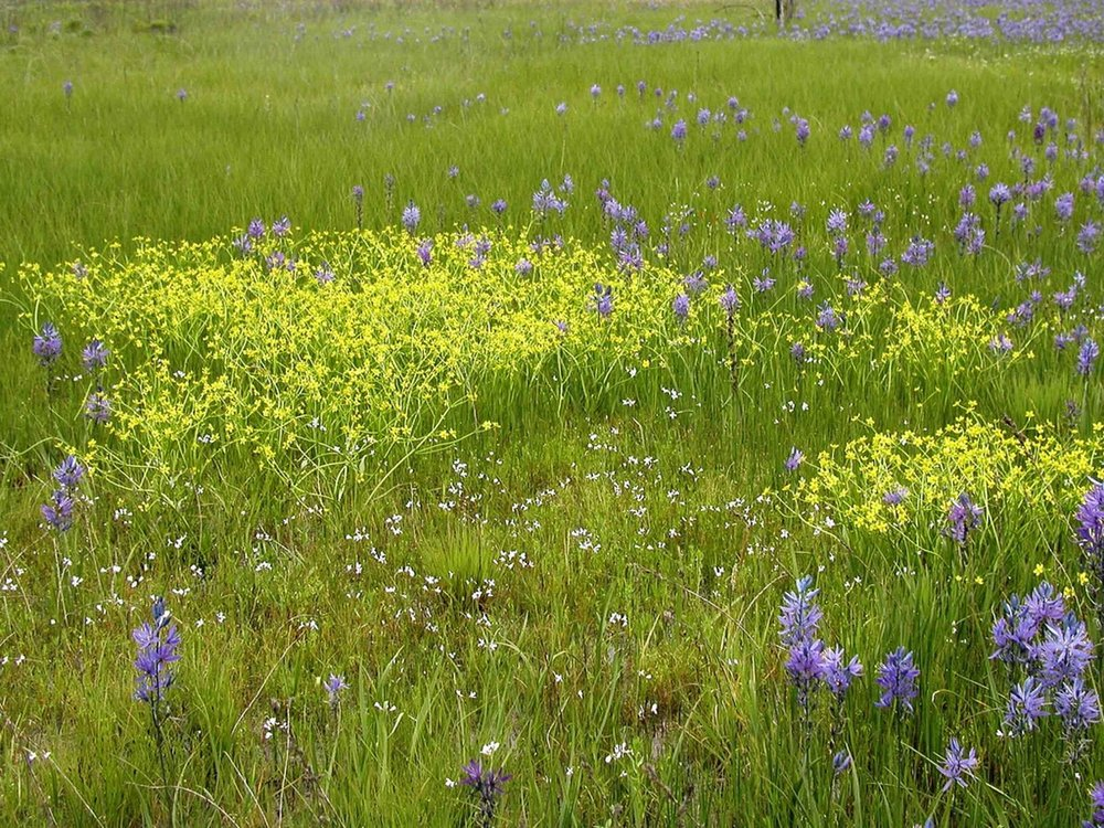 OB3 North_prairie_camas_and_buttercup_flowers_in_grass_on_field public domain from wikipedia commons.jpg