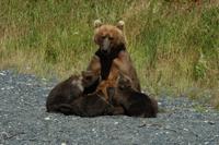 103 Nursing Bear Sow.jpg