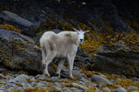 103 Mountain Goat.JPG