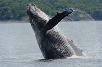 103 Humpback Whale.JPG