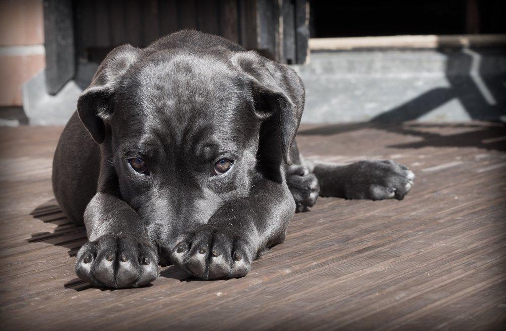 111 animal-cane-corso-canine-52997.jpg