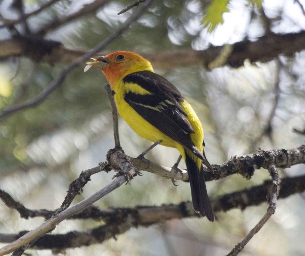 Leigh Creekside Park is habitat for the Western Tanager a migratory songbird.          (Photo:Beth Branthaver)