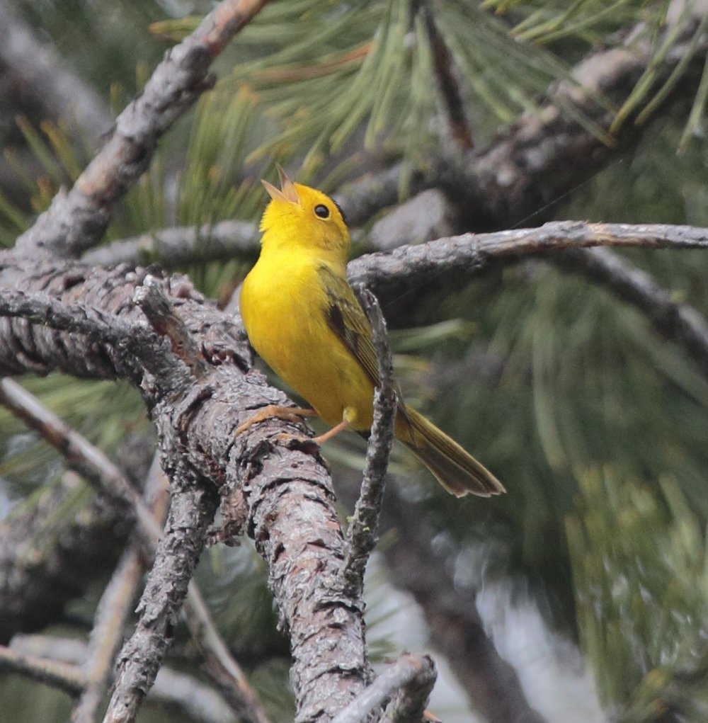 Habitat for the Wilson's Warbler includes thickets along Leigh Creekside Park's wooded creek, moist tangles, low shrubs, willows, and alders. (Photo:Beth Branthaver)