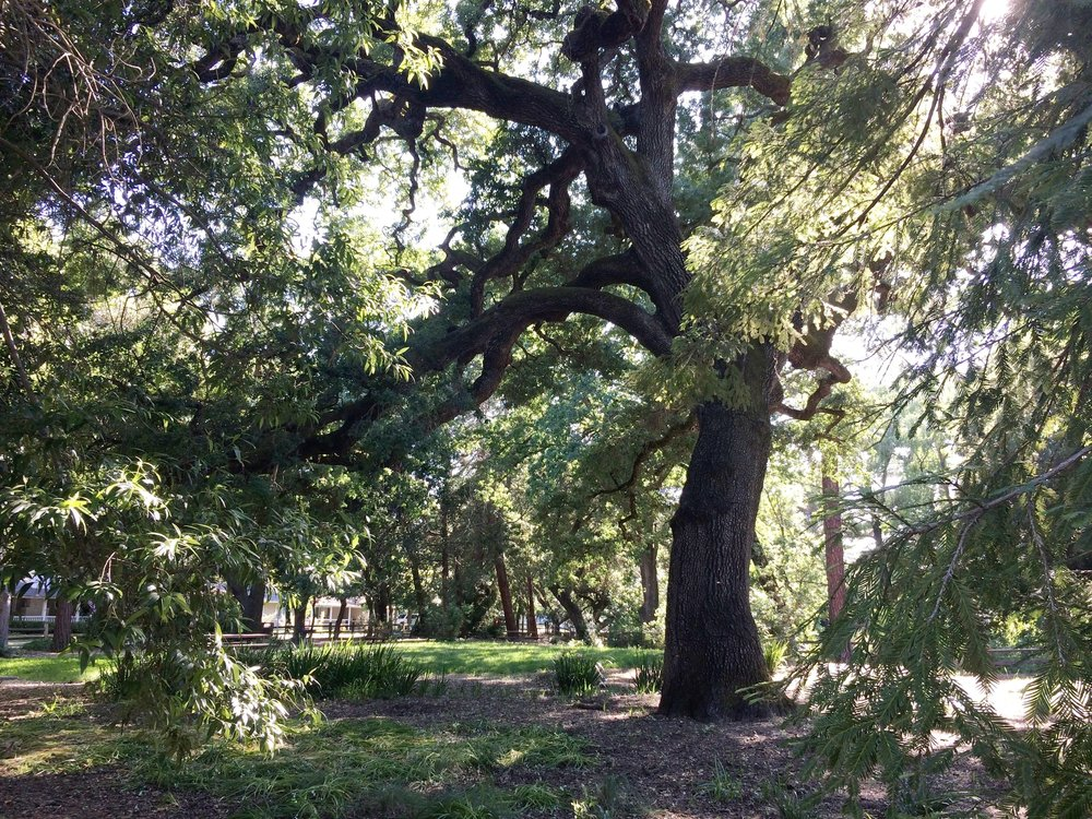 Leigh Creekside Park is canopied with Cork oaks, Valley oaks, Coast live oaks, Incense cedars, Black walnut,California buckeye, and California bay trees.