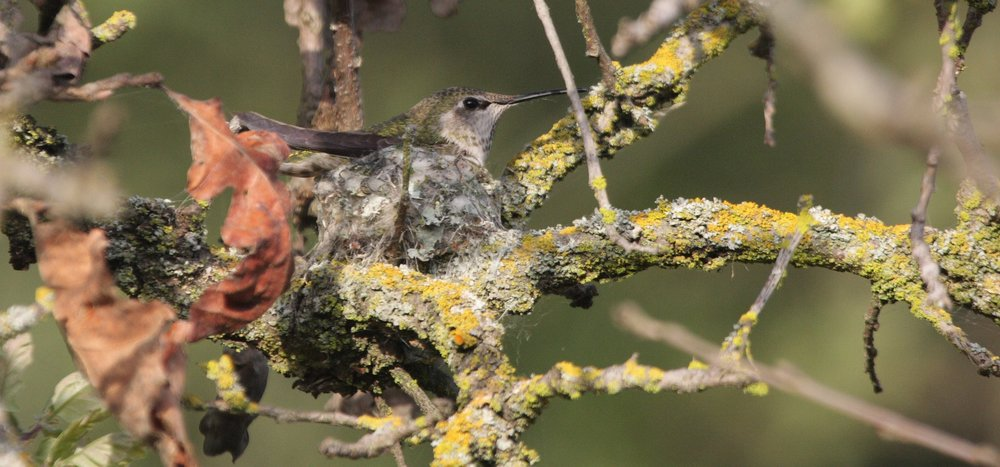 Hummingbirds nest in Leigh Creekside Park. (Photo:Beth Branthaver)