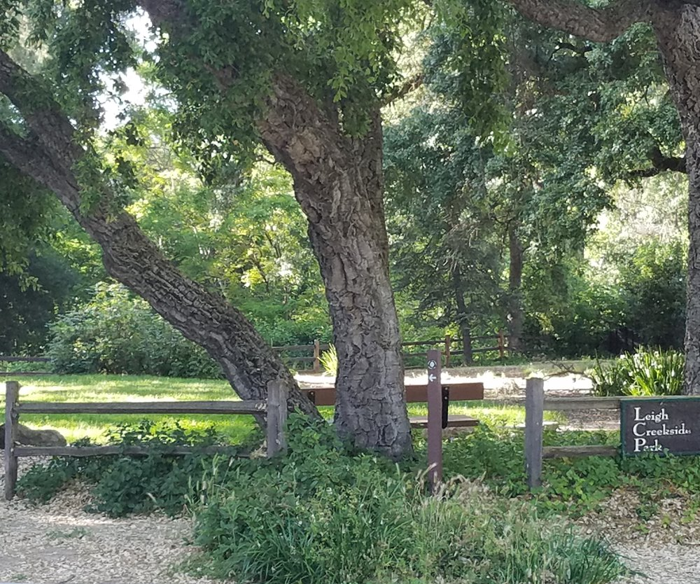 Majestic cork oak trees at entrance to Leigh Creekside Park.
