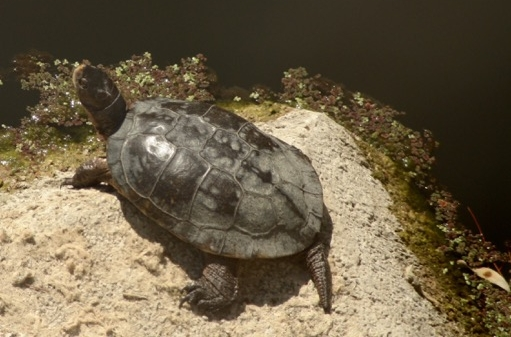 The Western Pond Turtle, a California endangered species, lives in Las Trampas Creek. Habitat preservation at Leigh Creekside Park is important. (Photo by Jim 'Doc' Hale)