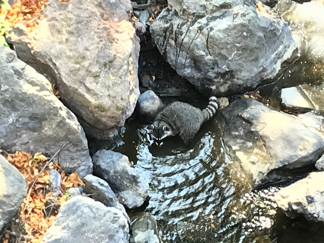 A young raccoon fishing in Las Trampas Creek at Leigh Creekside Park, October 2017.  (Photo:  Paul Griffith)