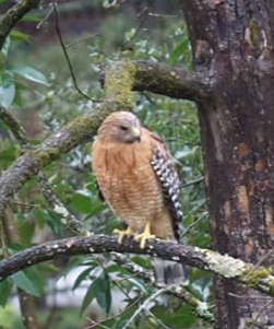 Red-shouldered Hawk, spotted in Leigh Creekside Park during March,is common to riparian habitats.