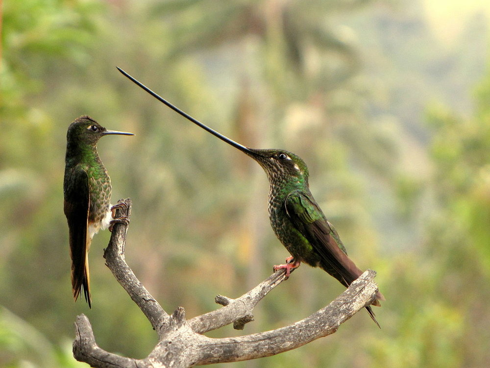 Female sword-billed hummingbird (right) compared to a buff-tailed coronet with shorter beak
