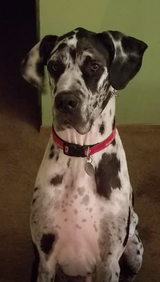 You might see Joker at an event near you. He is fully recovered from his Heartworm treatment and Joker loves people but is overstimulated by new dogs, especially in social situations. His foster home is working with him on meeting new dogs and he will be attending obedience training before going up for adoption. -