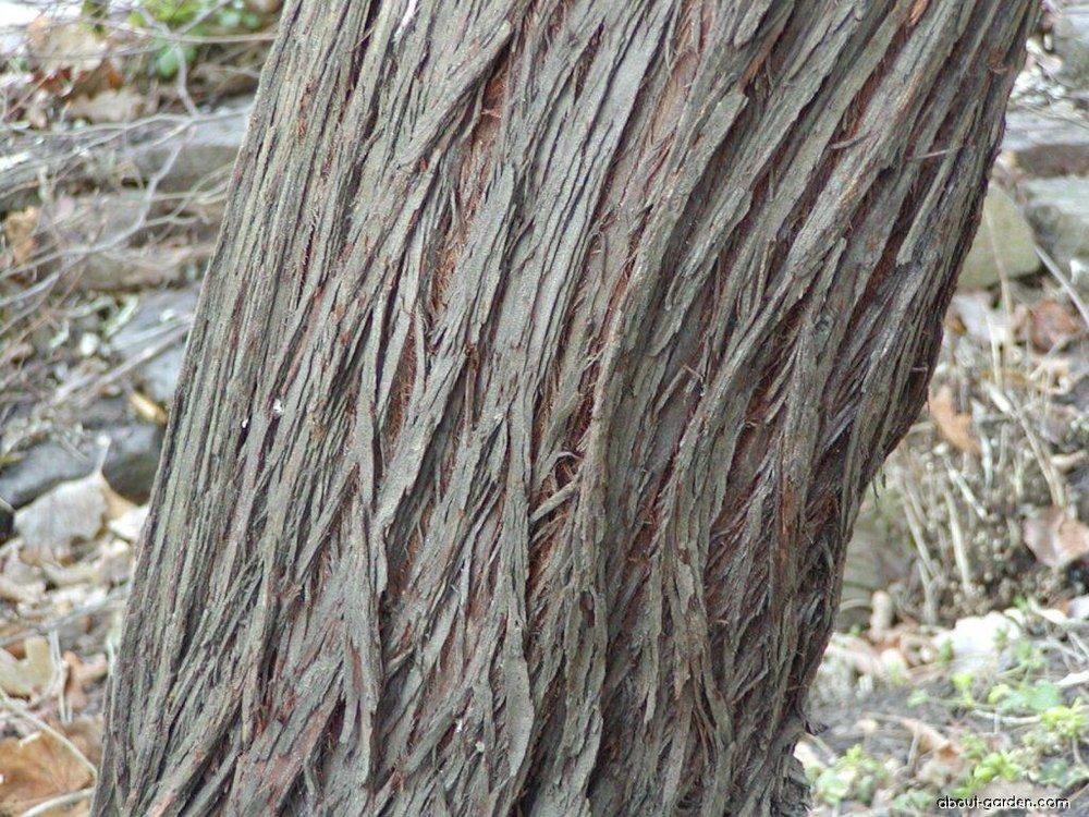 14908-elaeagnus-angustifolia-00313-020225-407346.jpg