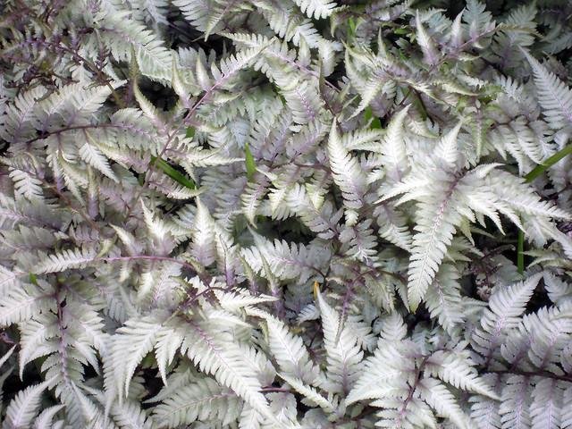 athyrium niponicum var pictum.jpg