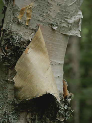 barrett-mackay-close-view-of-paper-birch-bark.jpg