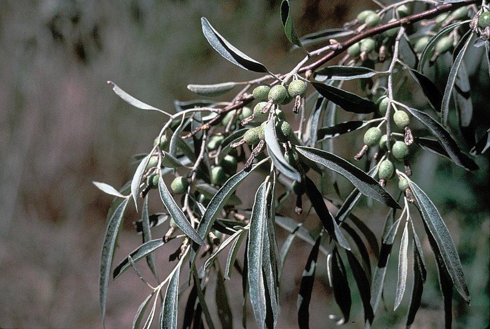 elaeagnus_angustifolia1319652314727.jpg