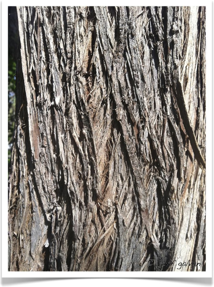 Russian-Olive-Elaeagnus-angustifolia-Bark-.jpg