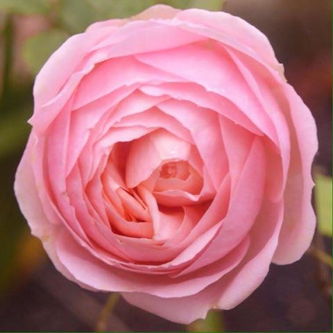 Rahanni energy flows as the divine pink rose ray. The essence of purity and unconditional love - I AM PURITY