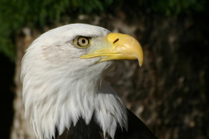 Bald eagle head in profile